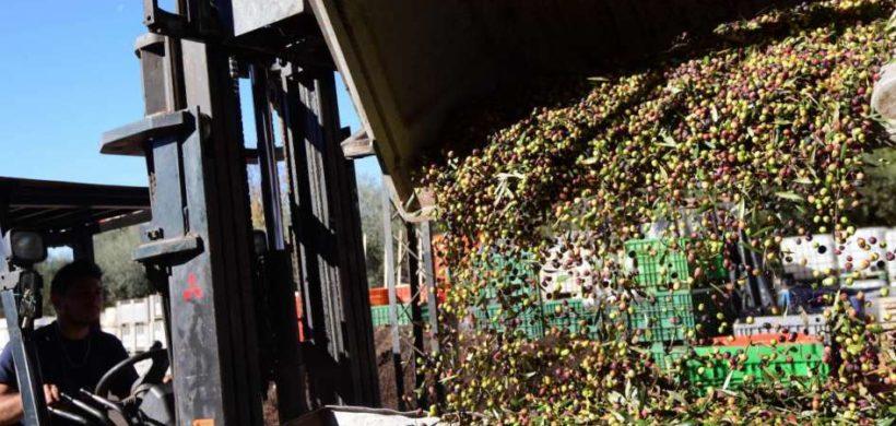 Crecieron 100% las exportaciones olivícolas en Mendoza