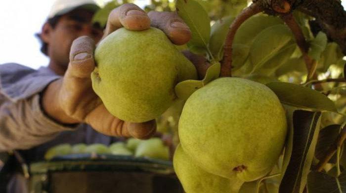 Mendoza ya puede exportar pera y manzana a Brasil