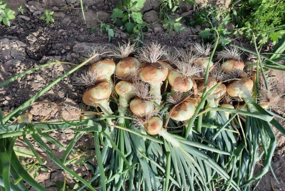 La cebolla dulce podría ser una oportunidad para adecuar la matriz exportadora a nuevos mercados